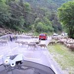 Schafe versperren die Straße