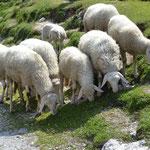 Schafe am Vrsic Pass
