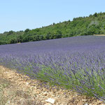 Provence - Lavendelfeld