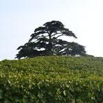 Baum im Weinberg