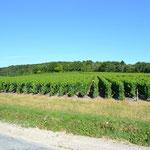 Mitten im Weinberggebiet (Champagne)