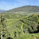 Äpfelplantagen bei Sanzeno