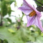 ∞ 季節のお花 ❀ 茄子