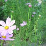 ∞ 季節のお花 ❀ コスモス