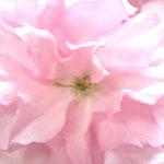 ❀ 八重桜