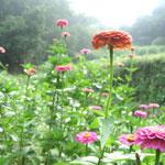 ∞ 季節のお花 ❀ 百日草