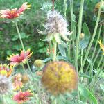 ∞ 季節のお花 ❀ テンニンギク(天人菊)、インディアンブランケット (Indian blanket)、サンダンス (Sundance)、ガイラルディア (Gaillardia)、ブランケットフラワー (Blanketflower)、特攻花。原産地: 北アメリカ(アメリカ合衆国からメキシコ)