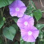 ∞ 季節のお花 ❀ 朝顔