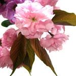 ❀ 八重桜 ストック