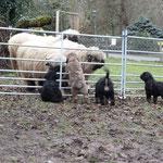 mit den Schafen