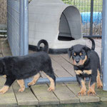 Male pup at 8 weeks old.(Arkan Vom Hause Neubrand x Nanni Vom Hause Neubrand)
