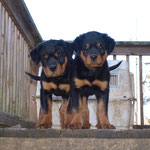 Male and female pup at 11 weeks old.(Arkan Vom Hause Neubrand x Nanni Vom Hause Neubrand)