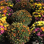 Chrysanthèmes petites fleurs Sabrina Maurel Rodez Toussaint