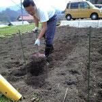 トウモロコシ、8月上旬収穫分種まき