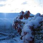 近所の野菊と雪