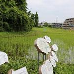 保土ケ谷区由井市の田んぼ(ほどがや元気村)