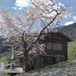 吉之丞の桜が満開です