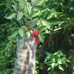 Rambutan am Baum