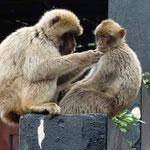 18.4. - Die weltbekannten Affen