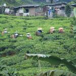 Teepflückerinnen am Hang