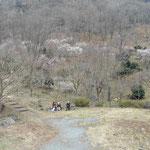 幕山は色々な梅の木があり、順繰りに満開になるので1ヶ月ぐらい楽しめます。