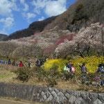 2月中旬から3月上旬まで、色々な梅が咲きます。