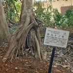 ホルトノキ(社寺林の中に多い木だそうです)