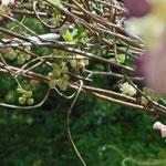 木に絡みついている植物の雄花と雌花です。図鑑を見たらアケビでした。