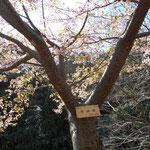 2017年2月末、千歳川が海に流れ込む国道135号線脇の園地に河津桜を見に行きました。