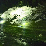 One night, I walked along the river and found only one couple talking under the blossoms.