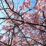満開です…青い空に濃いピンク色が映えますね。誰もいなくて…静かな穴場です。