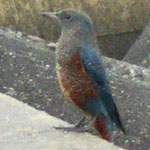 イソヒヨドリの雄です。青い燕尾服に茶色の腹掛けでダンディだなあ。1枚目の吉浜海岸にもいますよ。わかるかな〜?