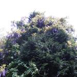 山道を抜けました。新緑の中、樹上の藤が鮮やかです。藤棚とは違い、ワイルドな感じがします。
