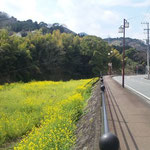 On the riverside, there are many rape blossoms.