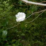 白椿の美しいこと... 白い絵具だけで、この姿を描けるのでしょうか。