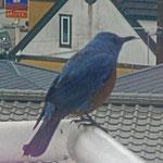 やっぱり、端っこ! オスの羽は青とオレンジの組み合わせで、色合いが素敵です。