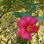 紅椿の花が咲いていました。湯河原の錦秋を満喫した1日でした。