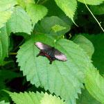 カラスアゲハ 光の加減で羽が輝きます。