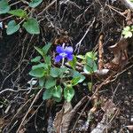 大石ヶ平方面に向かいます ♡スミレの花〜 咲っくころ〜🎵
