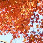 日光を受けて楓の葉がキラキラしていました。