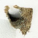 7月11日 腰赤燕が再登場! 2羽が修復を再開しています。