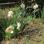 同じ時期に水仙も咲いてました