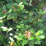 月窓亭の庭園の三段花(サンダンカ)。花柄が三段に重なっているのだそうですが…よくわかりません...