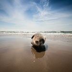 Wildlife in Reinstform - Am Strand bei Skagen in Dänemark