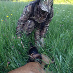 First meeting with a still warm roe deer buck...and they already know what to do!