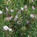 Dornige Hauhechel (Ononis spinosa) Trockenrasen Jamikow