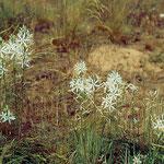 Astlose Graslilien (Anthericum liliago) in den Müllerbergen