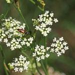 Kleine Pimpinelle (Pmpinella saxifrage) Jamikow