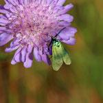 Grasnelken- Widderchen (Adscita statices)