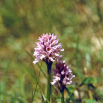 """Dreizähniges Knabenkraut (Orchis tridentata) im """"Höllengrund"""""""